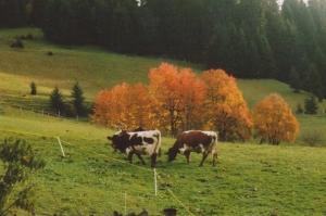 Kühe auf unserer Wiesen - Pension Reiterhof Maria Alm